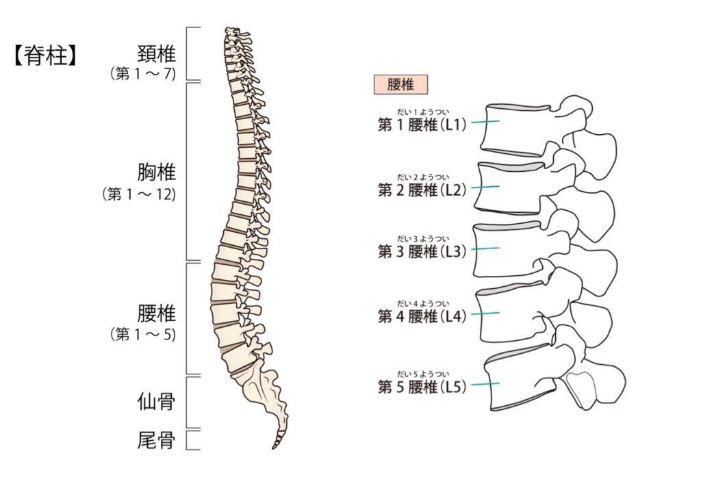 背骨と腰椎