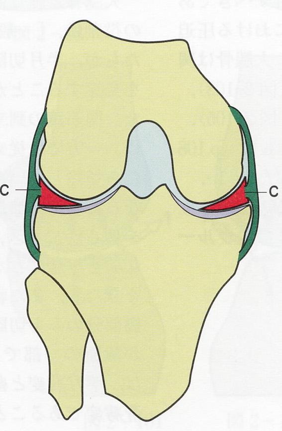 膝の半月板