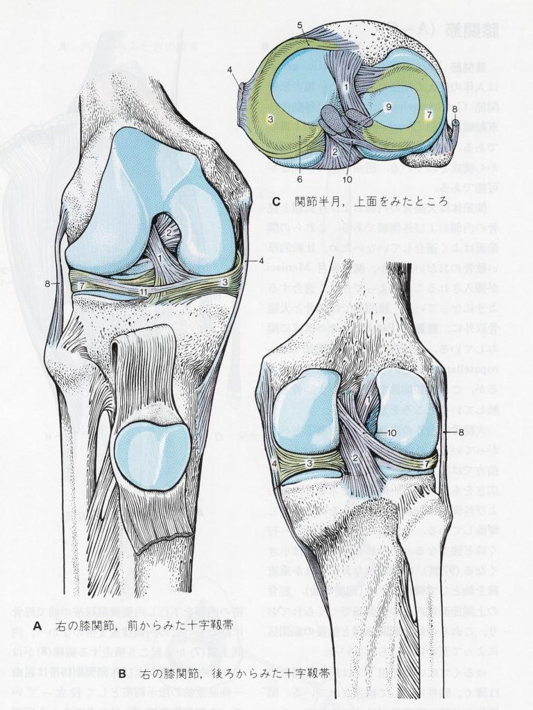 膝関節の内部