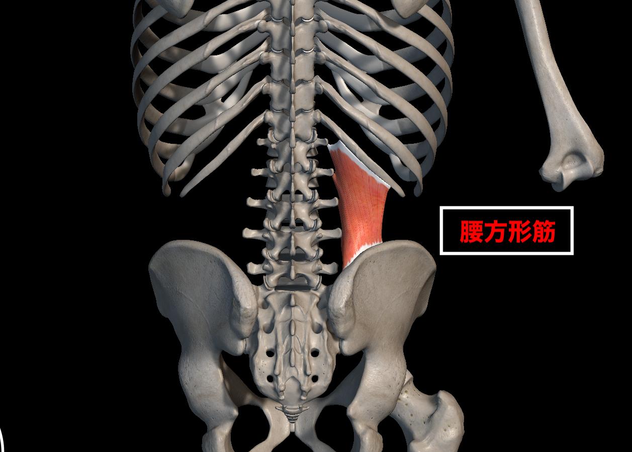 腰方形筋の場所