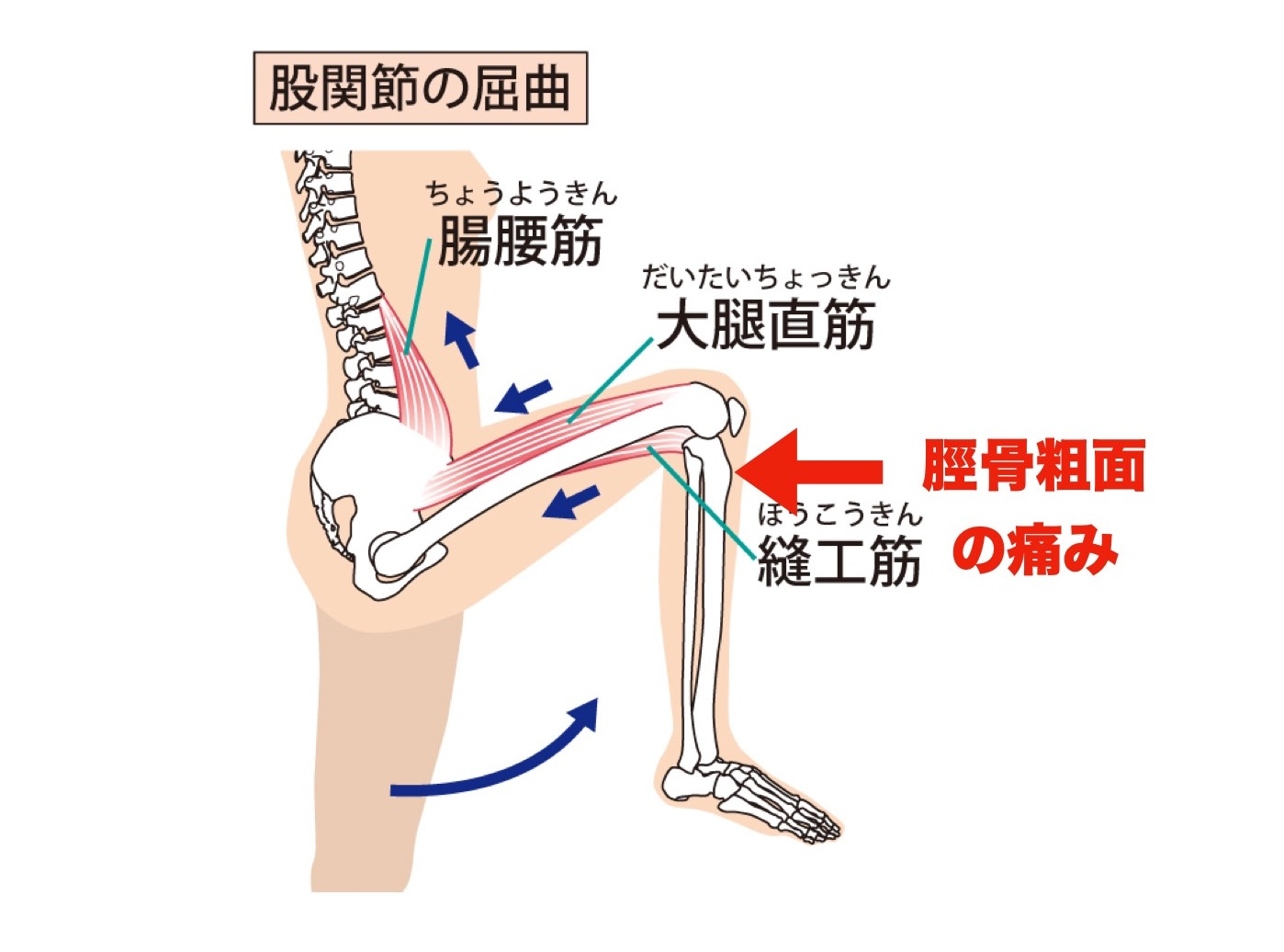膝関節の屈曲