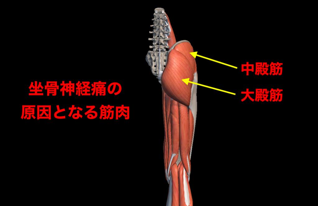 中臀筋と大臀筋